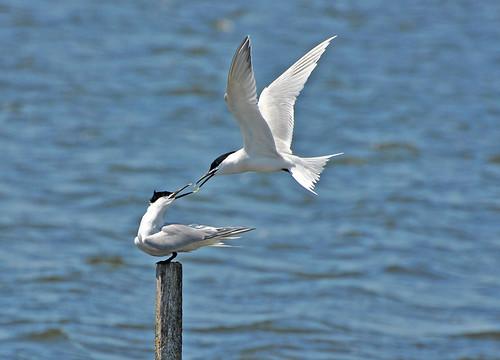 Fighting Sandwhich Terns