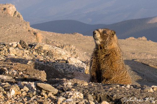 Marmot On Mt Evans by jim.colleran