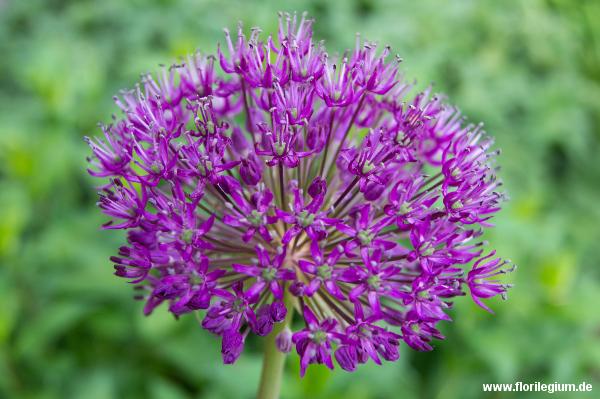 Zierlauch oder Iranischer Lauch (Allium aflatunense)