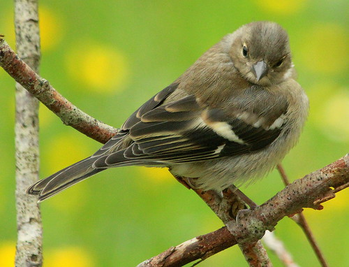Canon EOS 60D.Canon 70-300mm Lens.Young Chaffinch Through The Murk.June 25th 2012.