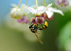 168/978 - Eumenes verticalis, Nectar Garden by Jerry Ting