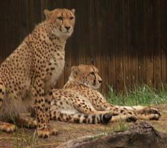 Cheetah Majesty