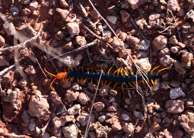 Seymour centipede