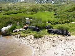 Au départ de Bucchinera : sieste des cochons au bord de l'eau