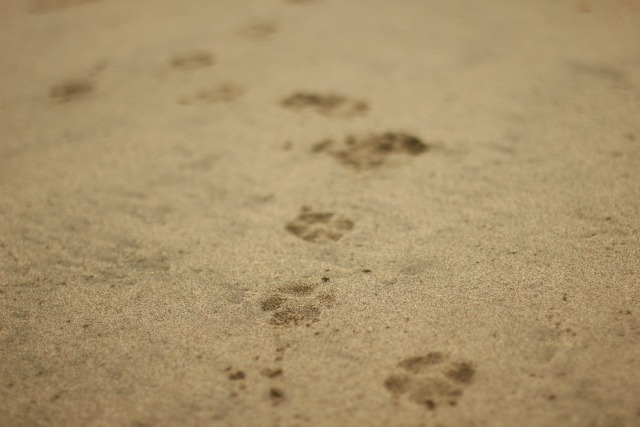 beach paw prints