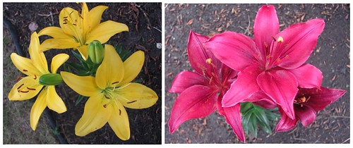04 yellow lilies and burgundy lilies