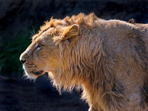 無料写真素材, 動物 , ライオン