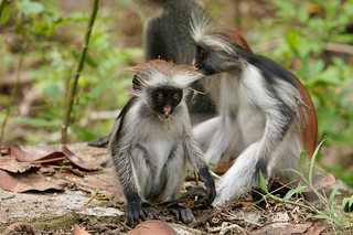Red Colobus monkey (infant)