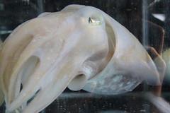 animal(1.0), cephalopod(1.0), marine biology(1.0), invertebrate(1.0), cuttlefish(1.0),