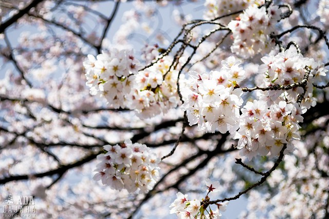 Spring in Japan: Cherry Blossom