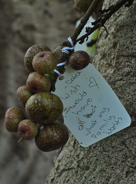 Ficus racemosa (6)
