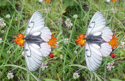 Parnassius stubbendorfii, stereo parallel view