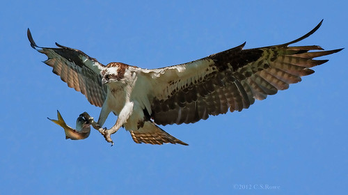 Osprey - Final Approach