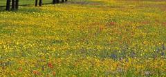 Spring Texas Wildflowers