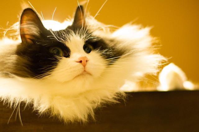 Ragamuffin Cat For Sale Nc