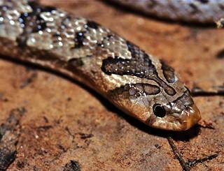 Banded Kukri Snake (Oligodon fasciolatus)
