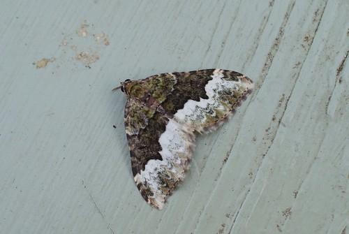 Cloaked Carpet  (Euphyia biangulata)
