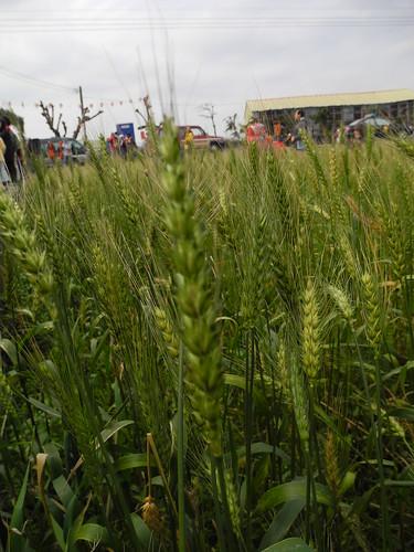 台灣自產的小麥。