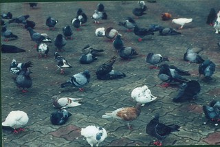 Pigeons at the base of Batu Caves