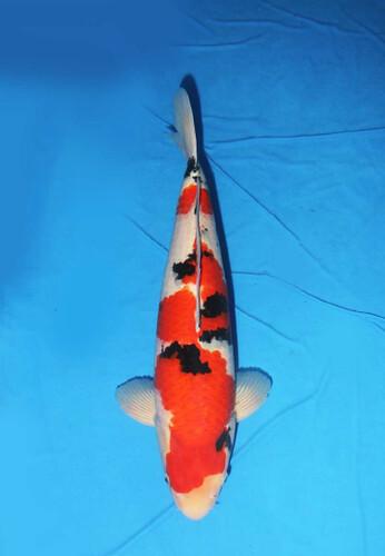 Torazo Male Sanke 2 jaar 50cm