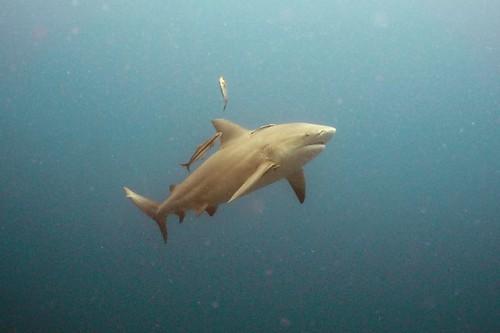sail-rock-bull-shark-4
