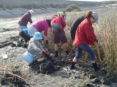 中國環保人士移除護花米草