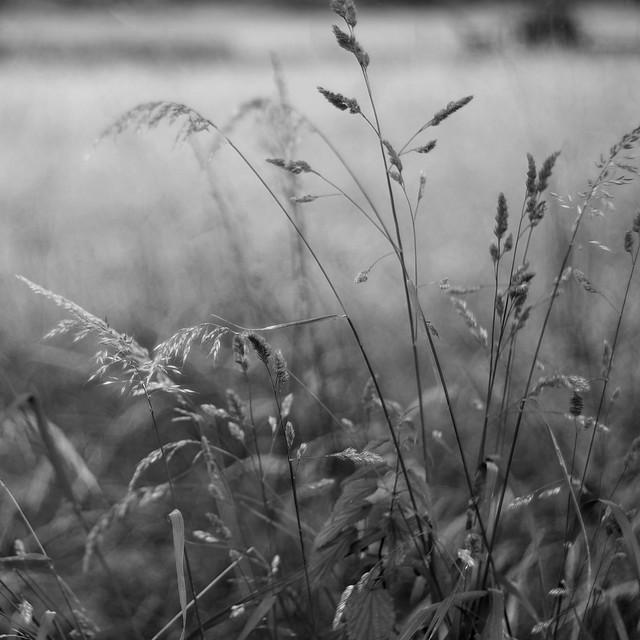 Summer grasses11