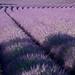 Champs de lavande en fleurs by Mario Graziano