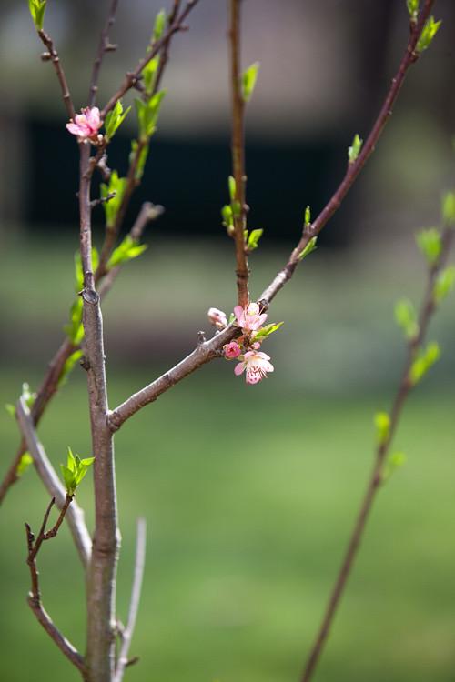 Spring Peach Tree