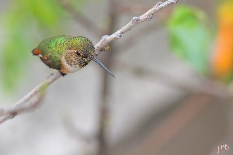 Allen's Hummingbird 230312-0