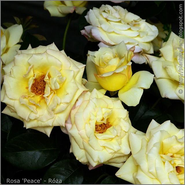 Rosa 'Peace' - Róża