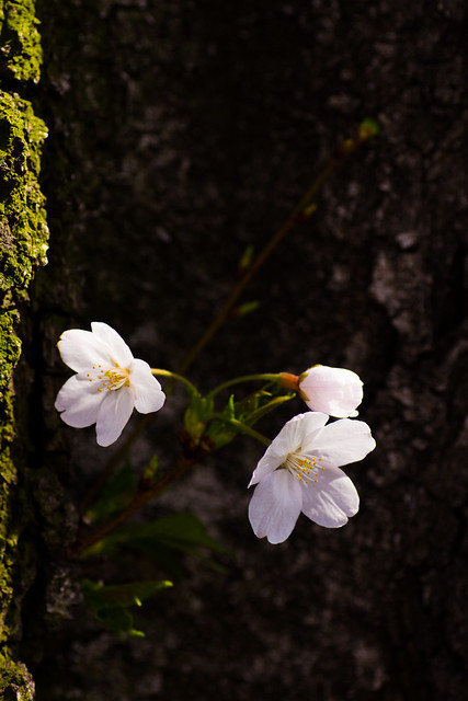 Photo:Someiyoshino (O-okayama, Tokyo, Japan) By t-mizo