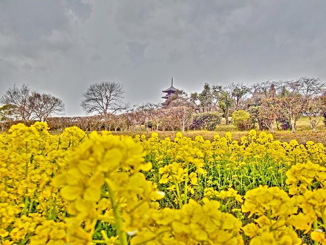菜の花と備中国分寺