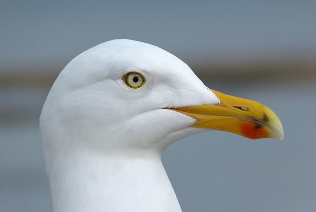 25840 - Herring Gull, Lyme Regis