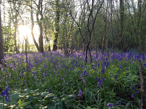 Bluebells in Gransden Wood