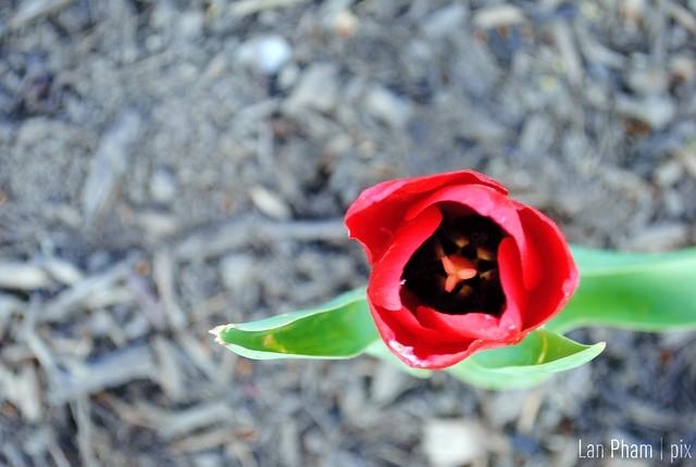 tulip 2012