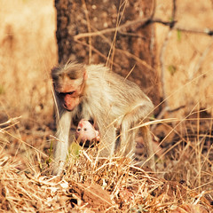 [フリー画像素材] 動物 1, 猿・サル, 動物 - 親子 ID:201203301000