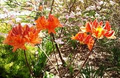 2012-04-09 Azalea, Mandarin Lights