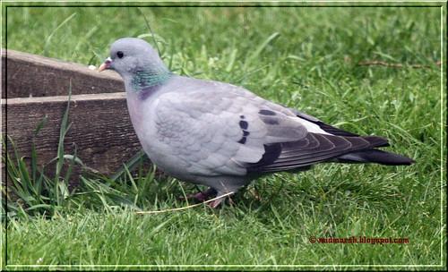 Stock Dove 4