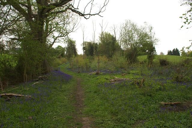 DSC_3960 bluebells