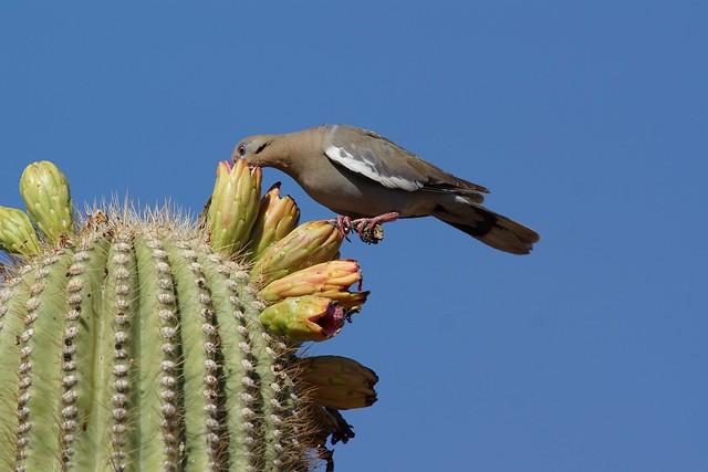 White-winged Dove Feeding on Fruit-2
