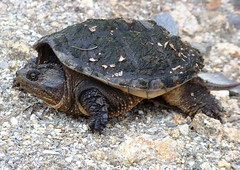 animal, turtle, box turtle, reptile, fauna, close-up, common snapping turtle, chelydridae, emydidae, wildlife, tortoise,