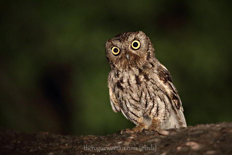 Western screech owl western screech owl western screech owl