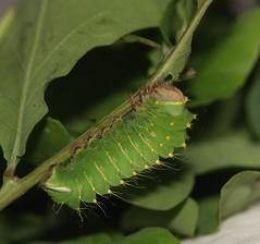 American oak silkmoth (Antheraea polyphemus) caterpillar