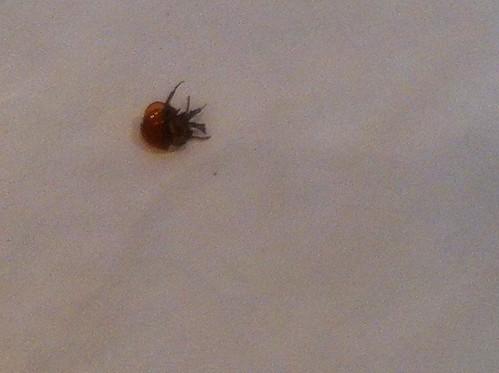round flat black bug round flat black bug