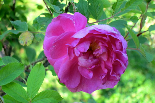 Rosa rugosa by Anna Amnell
