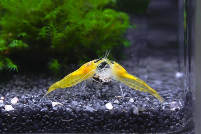 Yellow Shrimp Flickr - Photo Sharing!