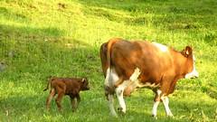 texas longhorn(0.0), bull(0.0), field(0.0), herd(0.0), grazing(0.0), cattle-like mammal(1.0), animal(1.0), prairie(1.0), farm(1.0), grass(1.0), mammal(1.0), dairy cow(1.0), fauna(1.0), natural environment(1.0), meadow(1.0), cattle(1.0), calf(1.0), pasture(1.0), grassland(1.0),