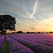 Mayfield Lavender, Banstead, Surrey