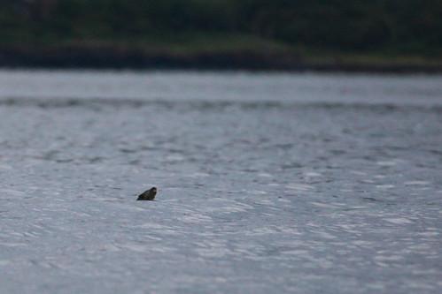 Otter bobbing